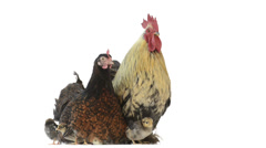 Hen and rooster protecting their chicks Stock Footage