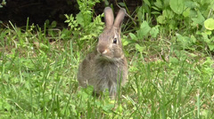 163 Bunny S1120015Young Eastern Cottontail (Sylvilagus floridanus) Stock Footage