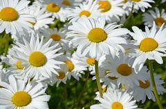 White spring daisies Stock Photos