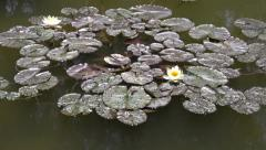 Waterlily in a pond Stock Footage