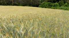 Mature cereal field Stock Footage
