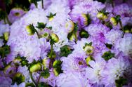 Stock Photo of beautiful violet dahlias flowers close up background