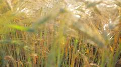 Strong Sun Shining on Wheat Field Jib Shot - stock footage