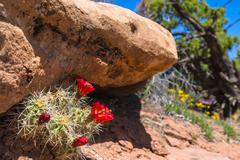 red cactus blossom canyonlands utah - stock photo