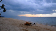 Stock Video Footage of Two Dogs Playing at the Beach in the Evening. Thailand.
