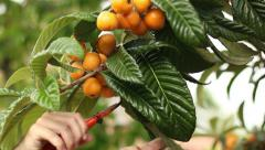 Collecting spring fruit loquats 01 Stock Footage