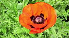 Poppy flower in a garden of Falaen Castle. Stock Footage