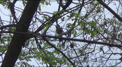 Stock Video Footage of Nightingale on a branch of acacia