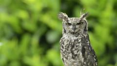 Spotted eagle-owl looking around Stock Footage