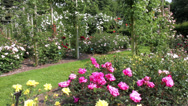Stock Video Footage of Roses in the Coloma Rose Garden.