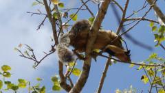 Giant squirrel (ratufa macroura) sitting on tree, sri lanka Stock Footage