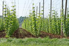 Hop garden in june Stock Photos