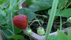 Strawberry the overall plan Stock Footage
