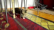 Kitten hunting toy indoor Stock Footage