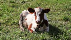 Cow On The Nature 1 Stock Footage