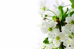 Tree branch with cherry flowers over white  background Stock Photos