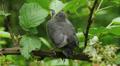 Gray Catbird (Dumetella carolinensis) fledgling 1 Footage