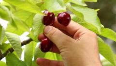 Picking spring red fruit cherries 01 Stock Footage