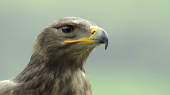 Close-up of a steppe eagle looking around Stock Footage