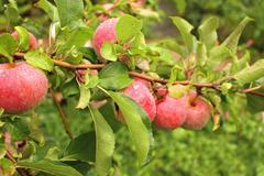 Crop of apples Stock Illustration