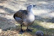 Stock Photo of An endangered Blue-winged Goose, Cyanochen cyanopterus