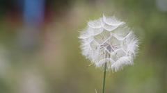 Stock Video Footage of Collapsed Dandelion