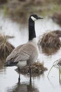 Alert Canada Goose, Branta canadensis Stock Photos