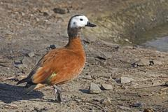 Female South African Shelduck, Tadorna cana Stock Photos