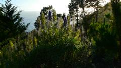 Lupines California Coast Stock Footage