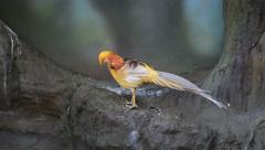 Golden Pheasant In The Zoo Stock Footage