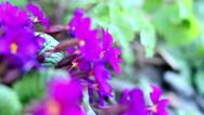 Spring Purple Flower 4 Stock Footage