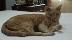 Orange Cat On Bed Stock Footage