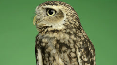 Little owl looking around in front of a green background Stock Footage