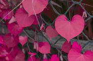 Stock Photo of heart shape leaf, pink color