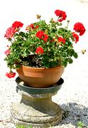 red geraniums flowers in a vase in the garden - stock photo