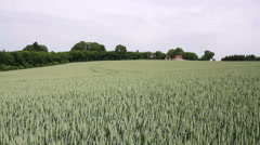 Green wheat field on the Belgian countryside in summer day. Stock Footage
