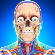 Anatomy of circulatory system and nervous system with human skull Stock Illustration