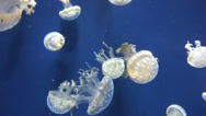 Stock Video Footage of Jellyfish, Creatures, Underwater, Sea Life