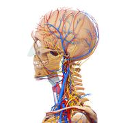 Anatomy of circulatory system and nervous system with human skull - stock illustration