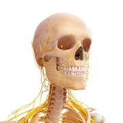 Anatomy of human skull with nervous system Stock Illustration