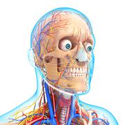 Anatomy of circulatory system and nervous system with human head Stock Illustration