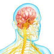 Anatomy of nervous system with human brain - stock illustration