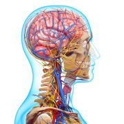 Anatomy of circulatory system and nervous system with human brain - stock illustration