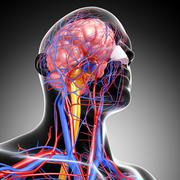 Anatomy of circulatory system with human brain - stock illustration