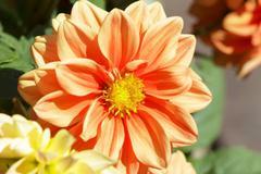 dahlia flowers - stock photo