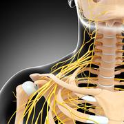 Anatomy of nervous system with human shoulders - stock illustration