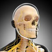 Anatomy of human head with Nervous system - stock illustration