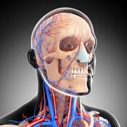 Anatomy of circulatory system with human skull - stock illustration