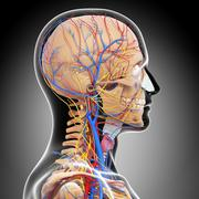 Anatomy of circulatory system and nervous system - stock illustration