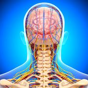 Anatomy of circulatory system and nervous system with human brain Stock Illustration